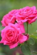 1401376_rose